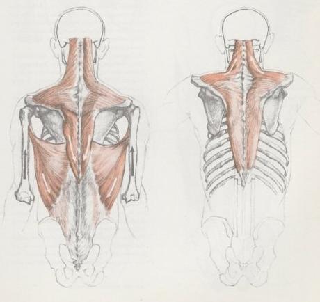 艺用肩部骨骼结构图